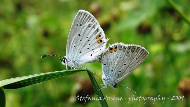 Two butterflies making love
