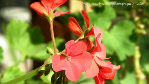 The red Pelargonium