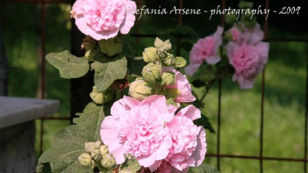Pink pelargonium or pink rose