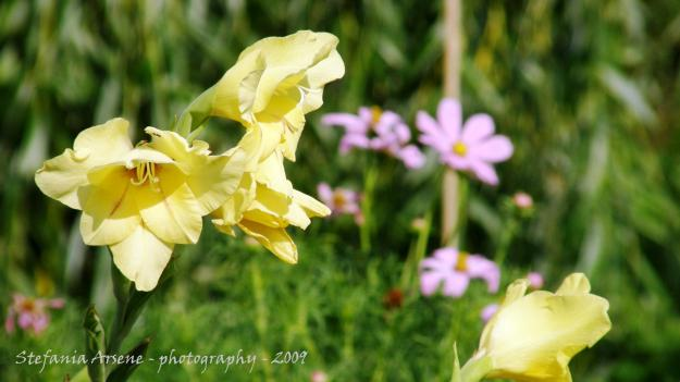 Yellow gladiolum with pink flowers