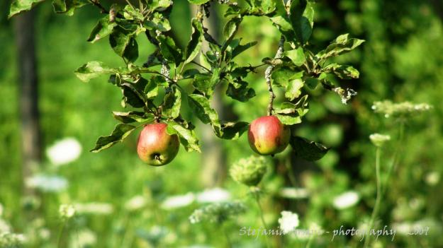 Two apples hanging from the tree