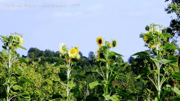 Four sunflowers until the sky