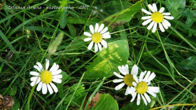 The five daisies